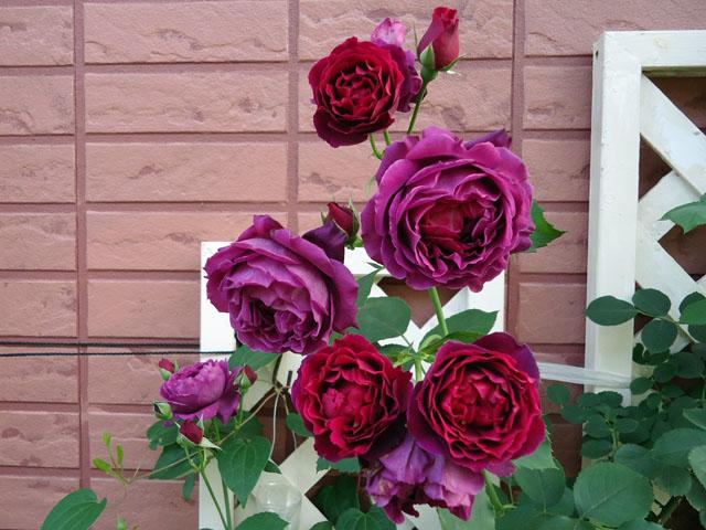 オデュッセイア: 夫婦でバラを育...